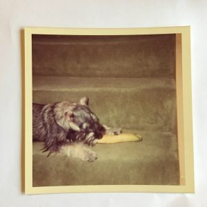 Geoffrey the schnauzer with a banana.
